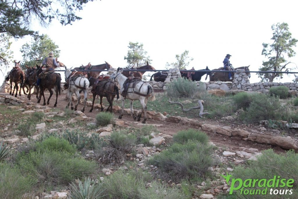 Mules return from a long day hiking down into the Grand Canyon